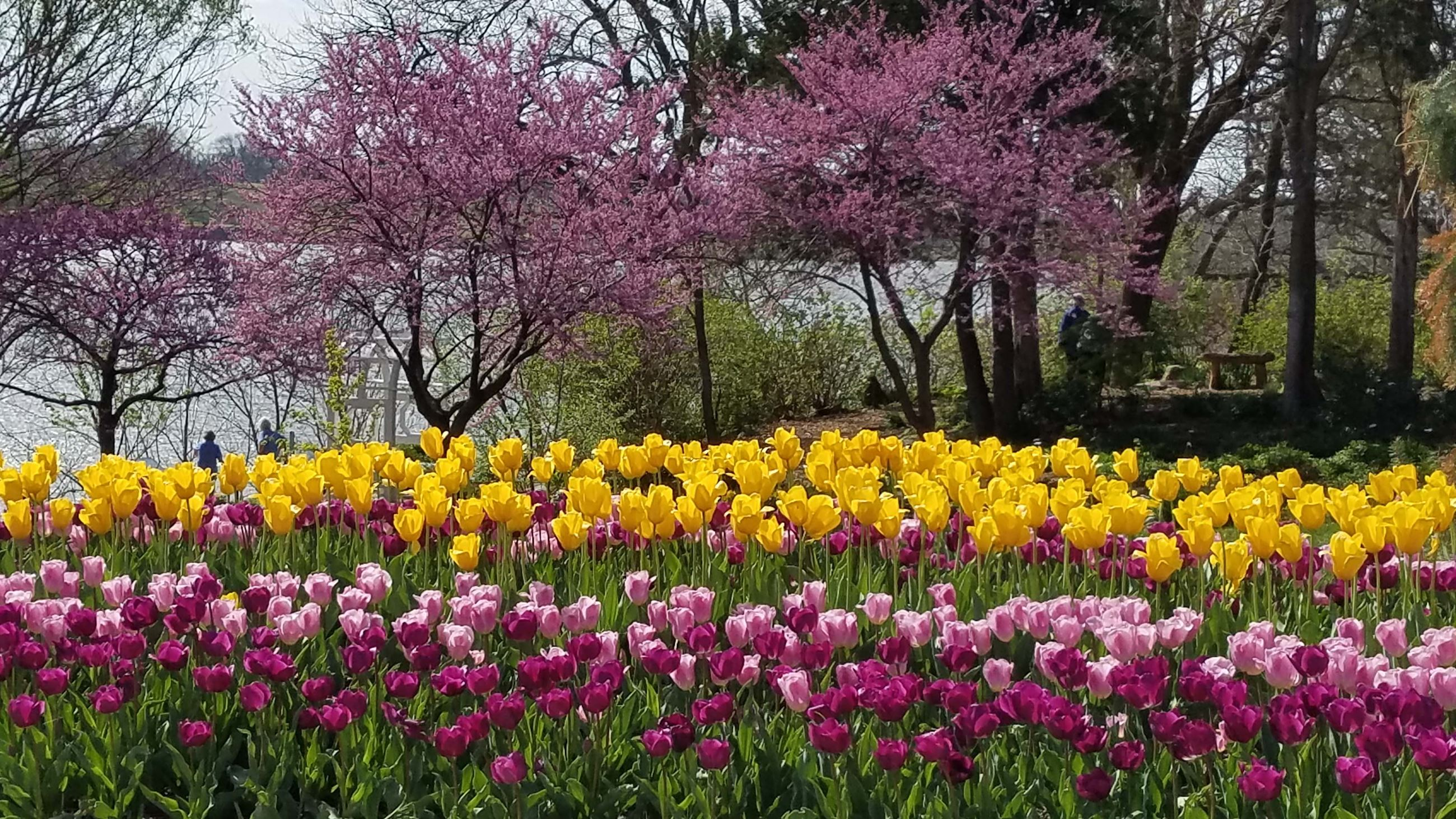 Purple and yellow tulips with redbuds sm