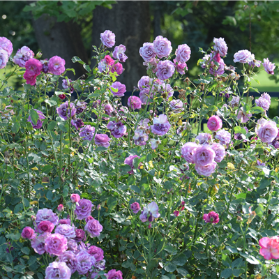 Lavendar Rose Bush