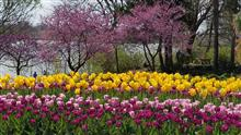 Purple and yellow tulips with redbuds.jpg