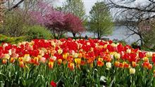 Red and yellow tulips w redbud and crabapple trees.jpg